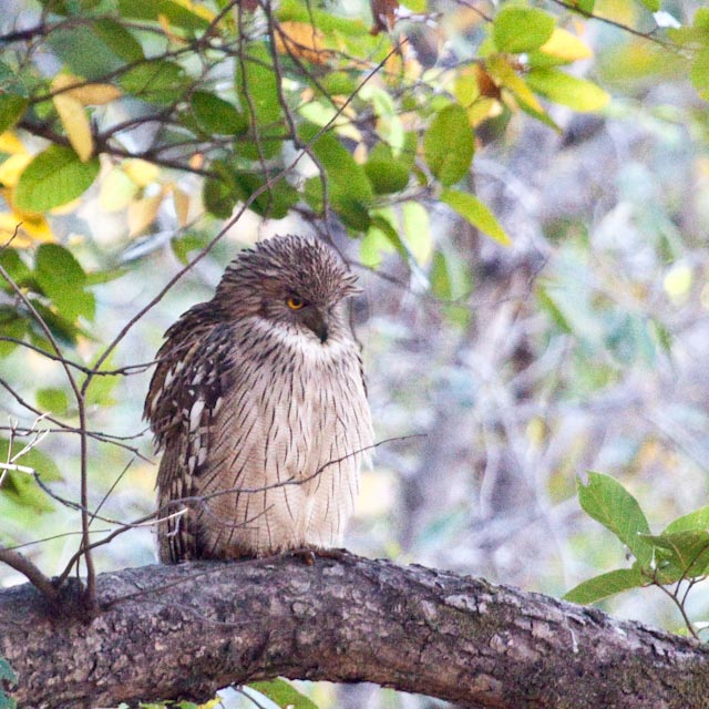 Brown Fish Owl_MG_9096